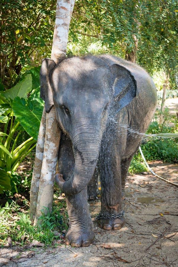 Le petit éléphant asiatique domestique prennent un bain photo libre de droits