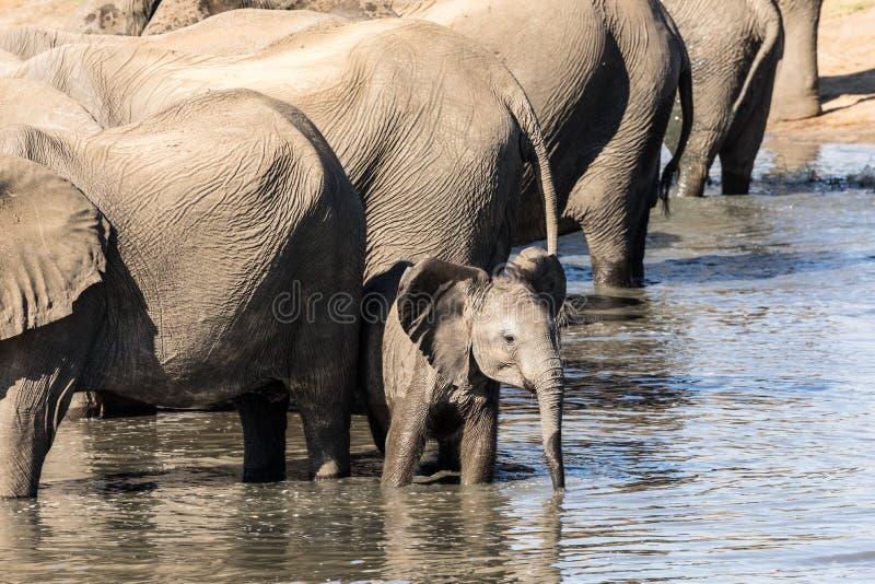 Le petit éléphant veut faire à sa guise photographie stock