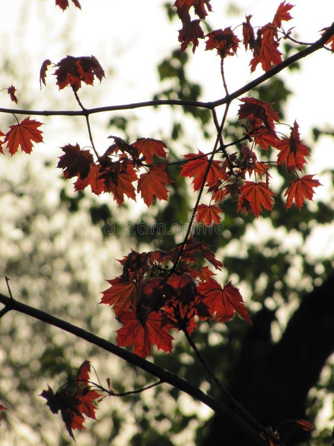 Le petit érable rouge part dans un parc d'automne photographie stock libre de droits