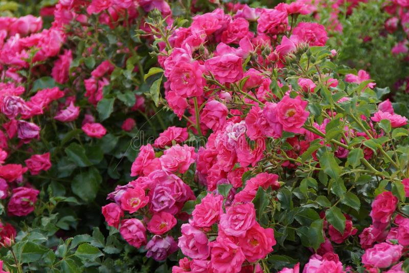 le petit arbuste d core de petites fleurs roses de fleurs photo stock image du caract re