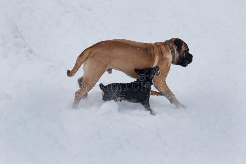 Le petit bâtard noir attaque agressivement le chiot de bullmastiff photos stock