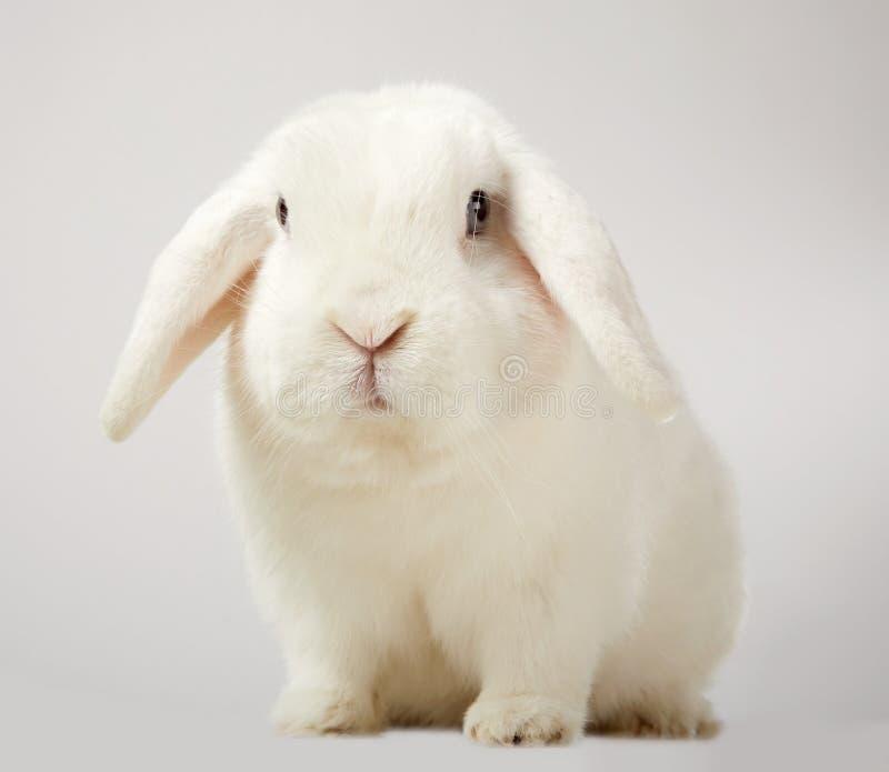 Le petit blanc pelucheux mignon taillent le lapin à oreilles image stock