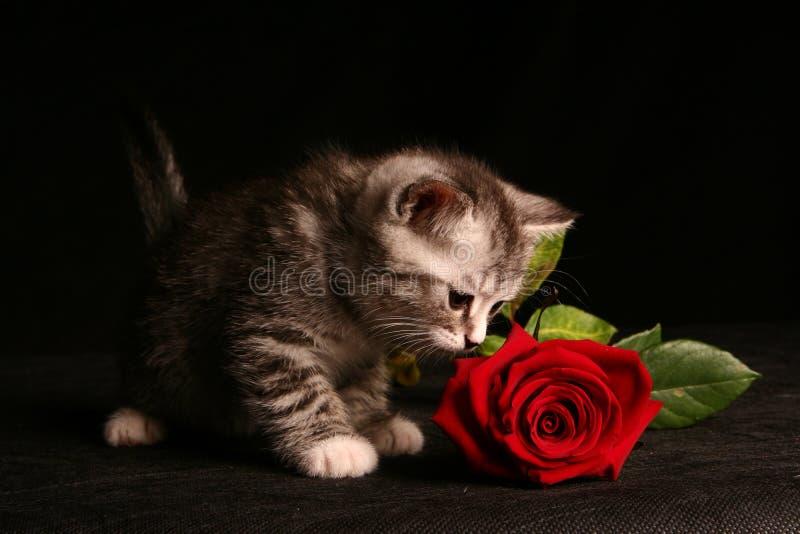 Le petit chat avec le rouge s'est levé photographie stock