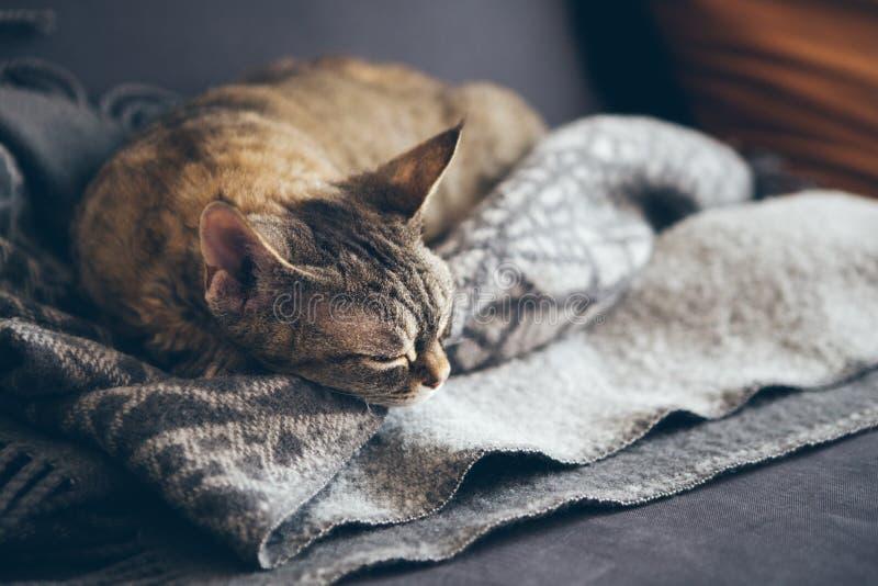 Le petit chat tigr? brun mignon de Devon Rex dort sur la couverture molle de laine sur la couleur grise photos stock