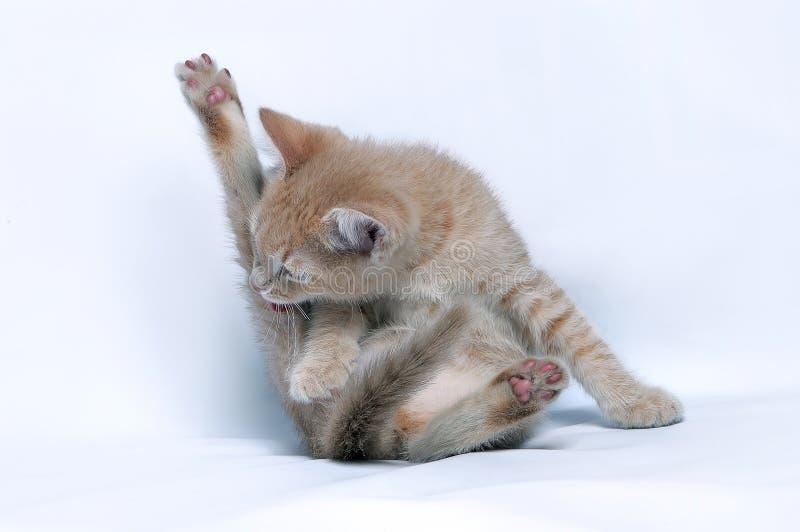 Le petit chaton de gingembre rouge lèche sa patte de derrière images libres de droits