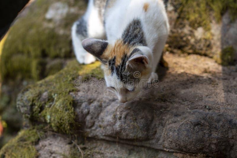 Le petit chaton sur en pierre moussu préparent pour sauter Jeux de Kitty en parc naturel Chat curieux dans le temple d'Angkor Vat photos libres de droits