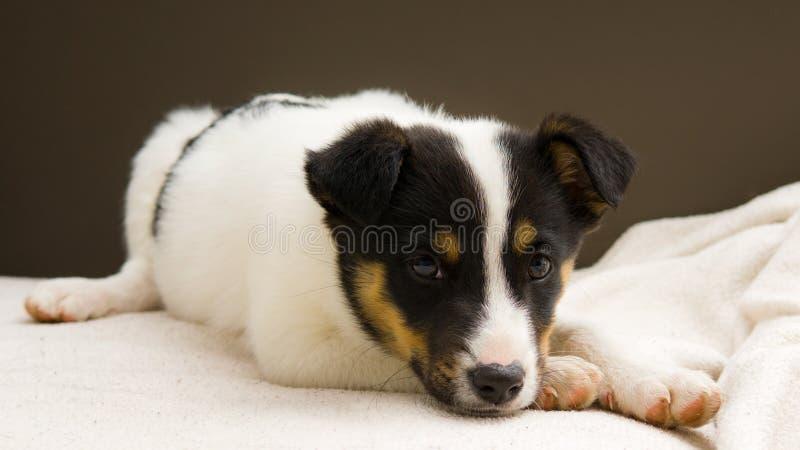 Le petit chien aiment semblable à Jack Russell Terrier photos stock