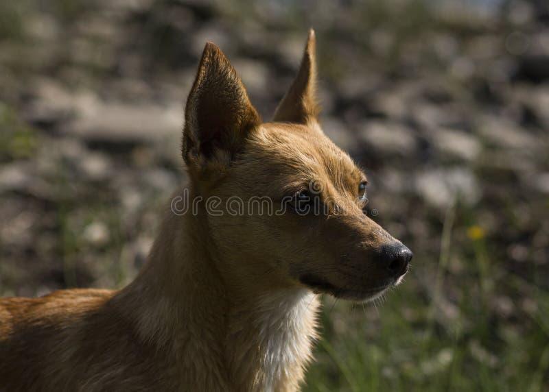Le petit chien de Brown, a mouillé de la natation dans le lac photo stock