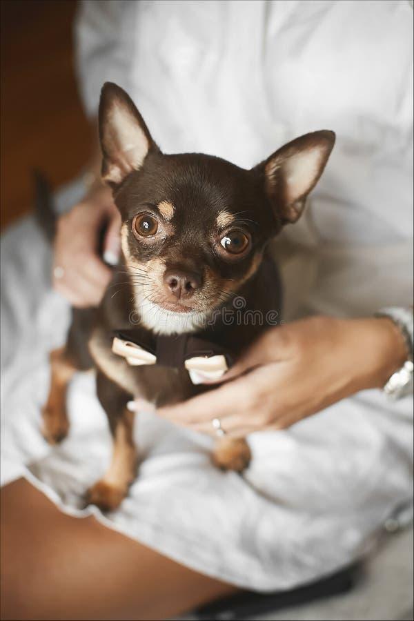 Le petit chien de chiwawa dans le noeud papillon se repose sur les genoux du ` s de dame photos stock