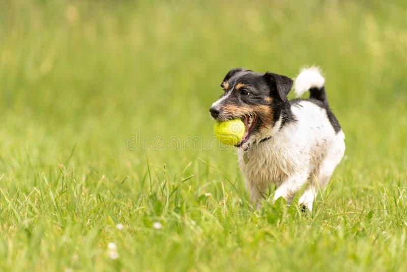 Le petit chien de Jack Russell Terrier avec la boule dans sa bouche fonctionne à travers le pré photos libres de droits