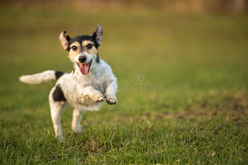 Le petit chien fonctionne et vole au-dessus d'un pré vert au printemps Jack Russell Terrier Hound 8 années image stock