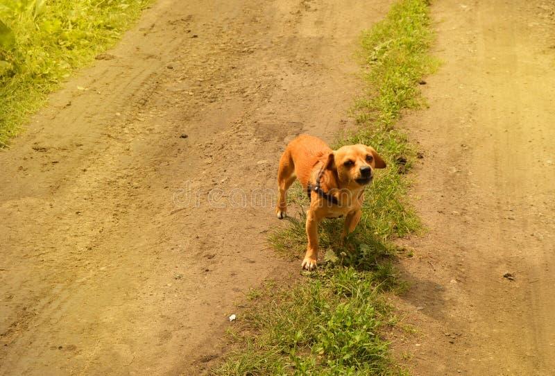 Le petit chien rouge f?ch? se tient sur la route et regarde agressivement, dehors un jour d'?t? photos libres de droits