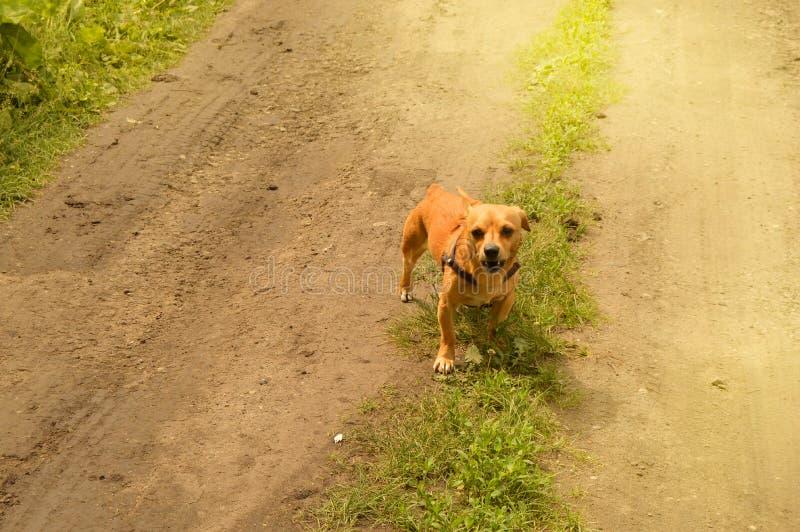 Le petit chien rouge f?ch? se tient sur la route et regarde agressivement, dehors un jour d'?t? image stock