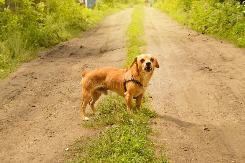 Le petit chien rouge f?ch? se tient sur la route et regarde agressivement, dehors un jour d'?t? images stock