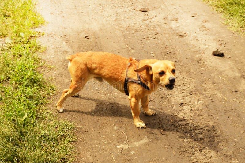 Le petit chien rouge f?ch? se tient sur la route et regarde agressivement, dehors un jour d'?t? photo stock