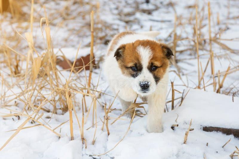 Le petit chiot de couleur blanche marche dans la neige avec le regard d'un chasseur image stock