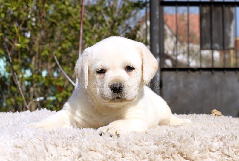 Le Petit Chiot De Labrador Sur Un Fond Beige Image stock - Image du ...