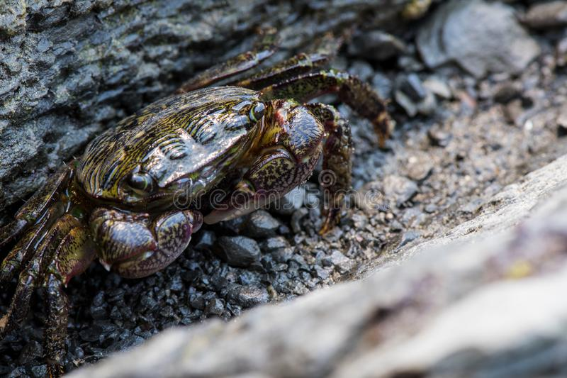 Le petit crabe se cache en fente de roche photo stock