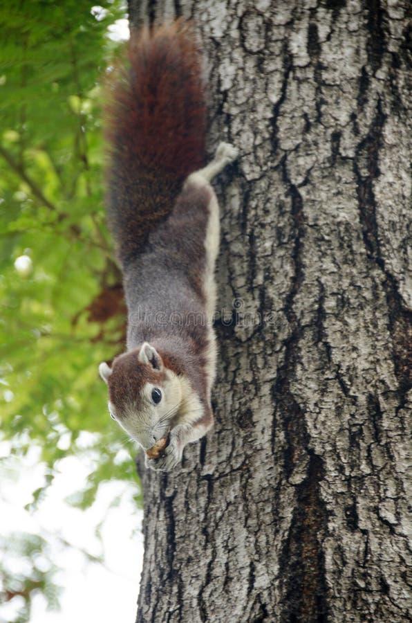 Le petit ?cureuil mignon en gros plan fixent sur la branche d'arbre et ont plaisir ? manger l'?crou avec avec le fond brouill? image stock
