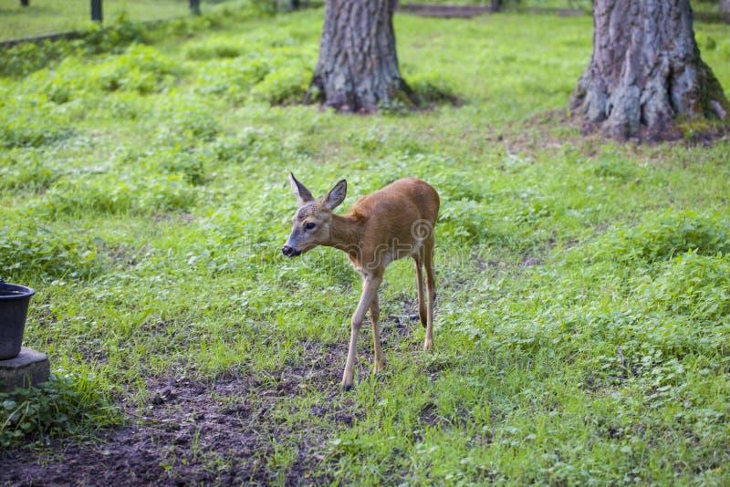 Le petit faon entre chemin, parc national de Bialowieza photographie stock libre de droits