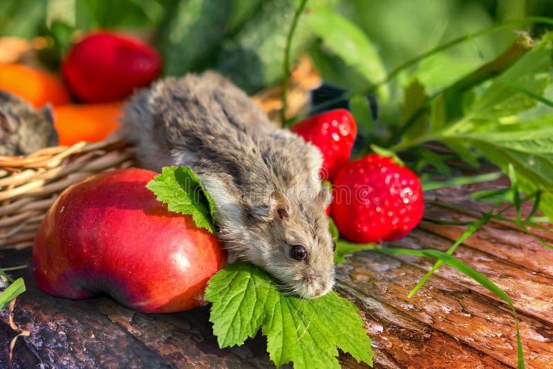 Le petit hamster curieux marche dehors sur l'herbe photographie stock libre de droits