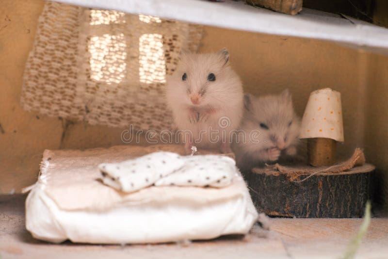 Le petit hamster drôle sur le lit dans un petit imaginent à la maison images libres de droits