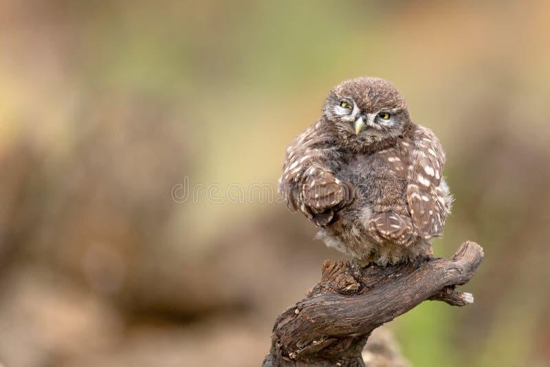 Le petit hibou de jeunes, noctua d'Athene, se reposant sur un bâton et regardant la caméra photos stock