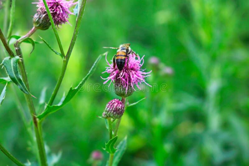Le petit insecte utile est travaillant et faisant le miel images libres de droits