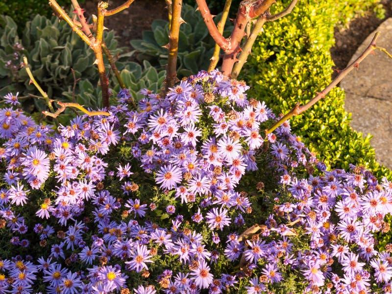 Le petit jardin rose de belle lumière du soleil fleurit l'au sol d'abondance images stock