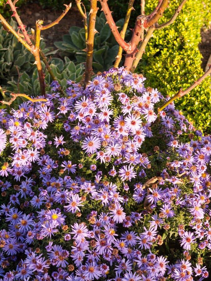 Le petit jardin rose de belle lumière du soleil fleurit l'au sol d'abondance photo libre de droits