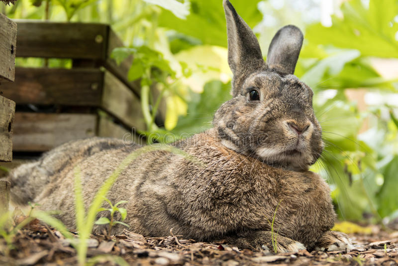Le petit lapin brun et gris adorable détend dans le jardin image libre de droits