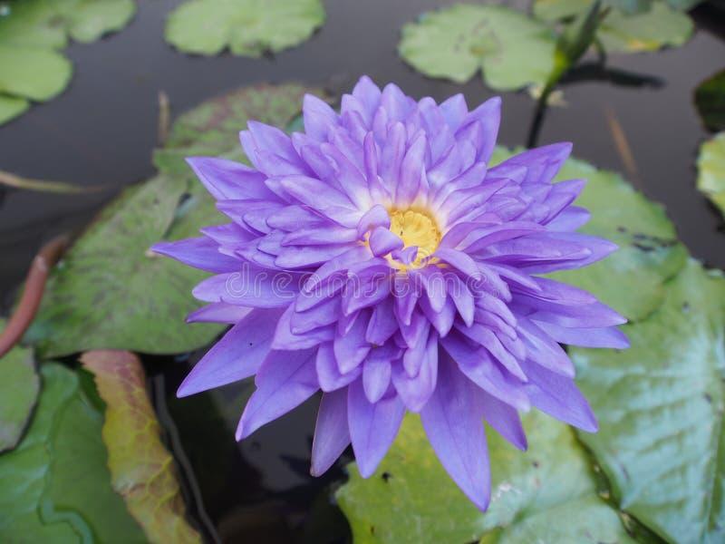 Le petit lotus pourpre images stock