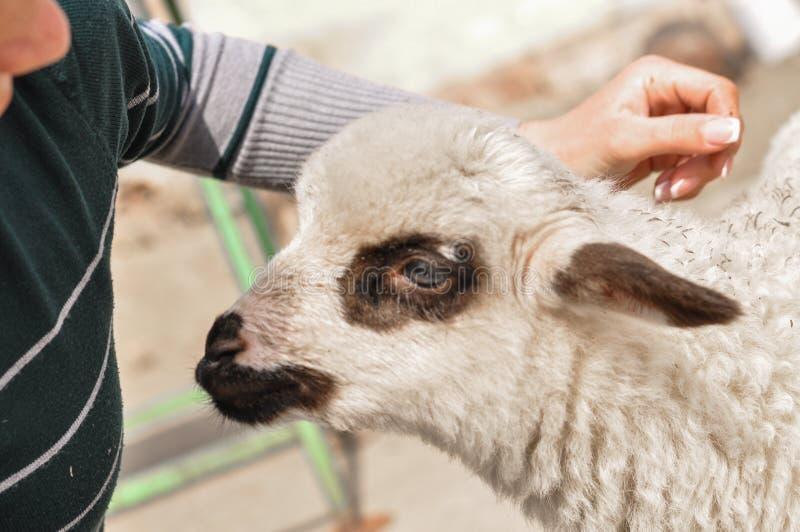Le petit mouton mord le woman& x27 ; doigt de s images stock