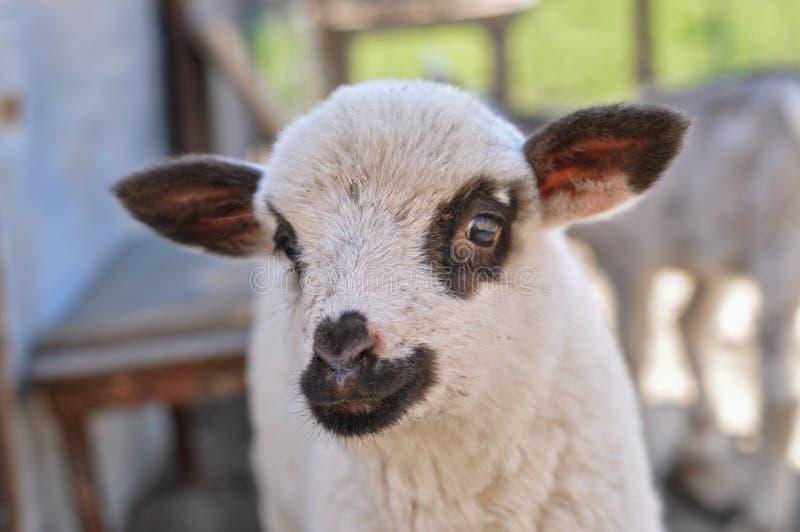 Le petit mouton mord le woman' ; doigt de s image libre de droits