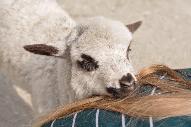 Le petit mouton mord le woman& x27 ; doigt de s photographie stock
