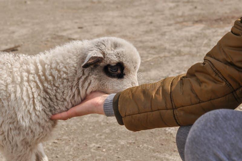 Le petit mouton mord le woman& x27 ; doigt de s photos stock