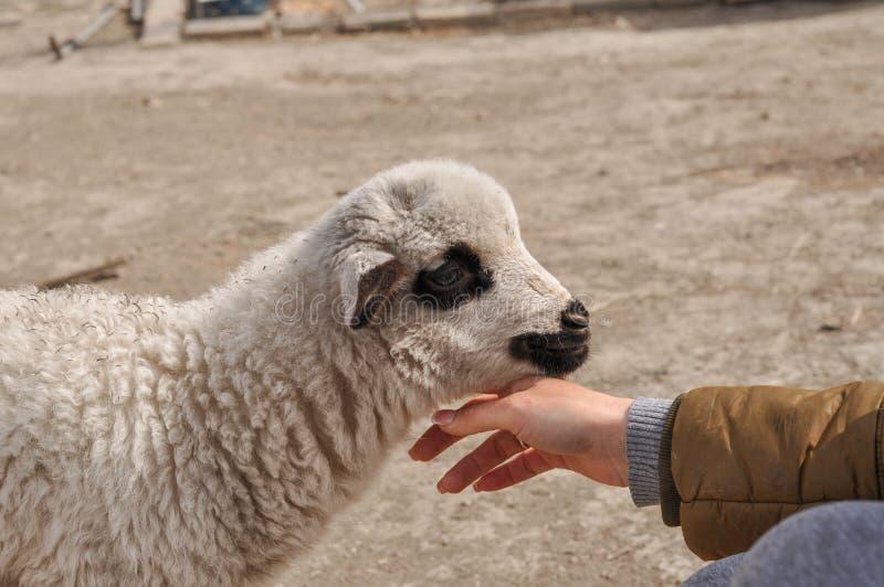 Le petit mouton mord le woman& x27 ; doigt de s photo libre de droits