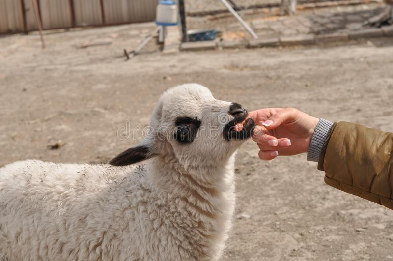 Le petit mouton mord le woman& x27 ; doigt de s photo stock