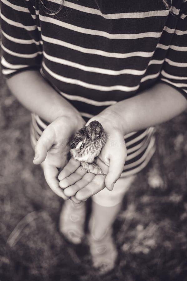 Le petit oiseau qui est tombé du nid dans les mains d'un enfant photo libre de droits