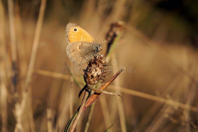 Le petit papillon de bruyère photos libres de droits