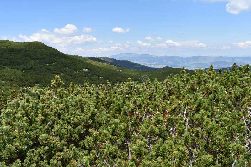Le petit pinus Mugo de pin de montagne couvrant le ` s de Durmitor fait une pointe images libres de droits