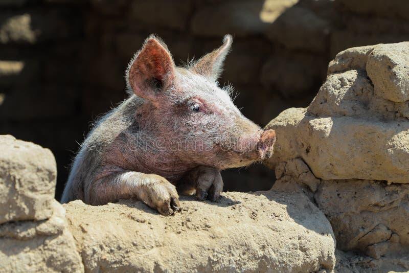 Le petit porc regarde la fenêtre photo stock