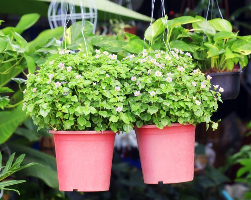 Le petit pourpre fleurit la plante tropicale d'Exacum dans un pot photo libre de droits