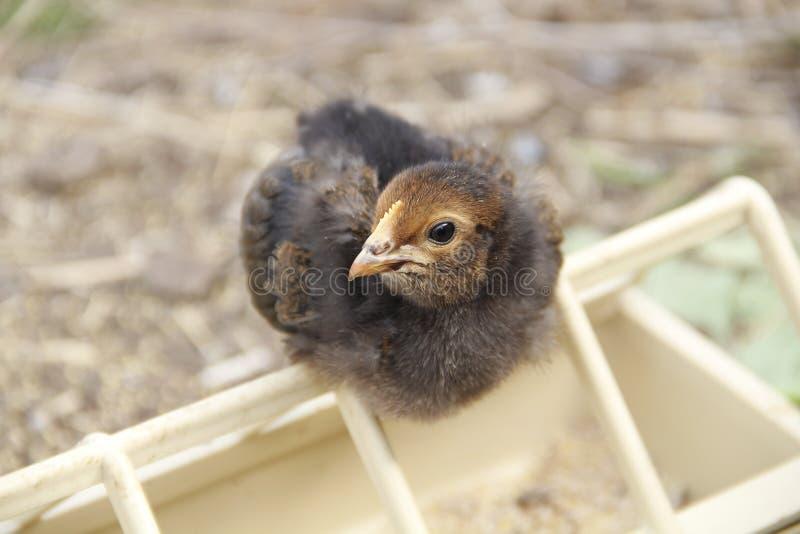 Le petit poussin noir curieux photos libres de droits