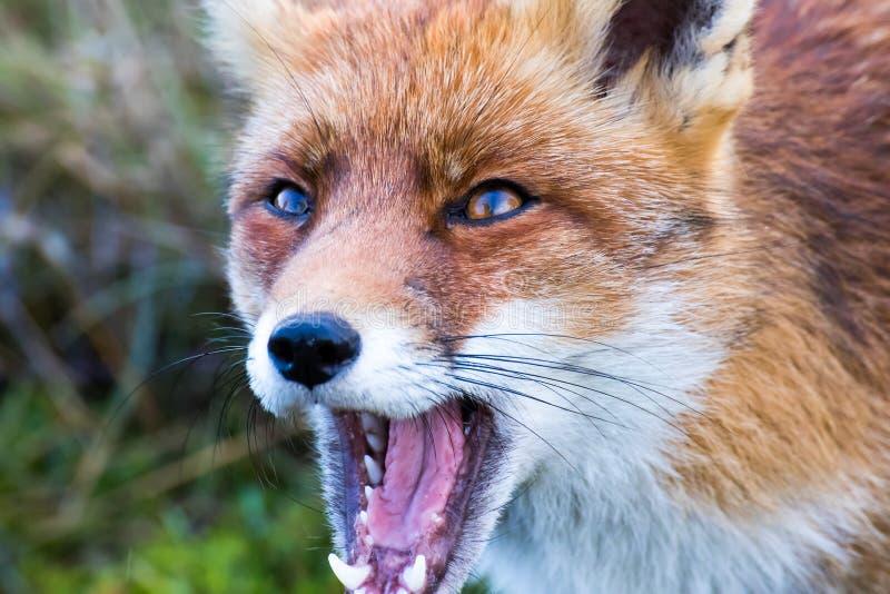 Le petit renard rouge images libres de droits
