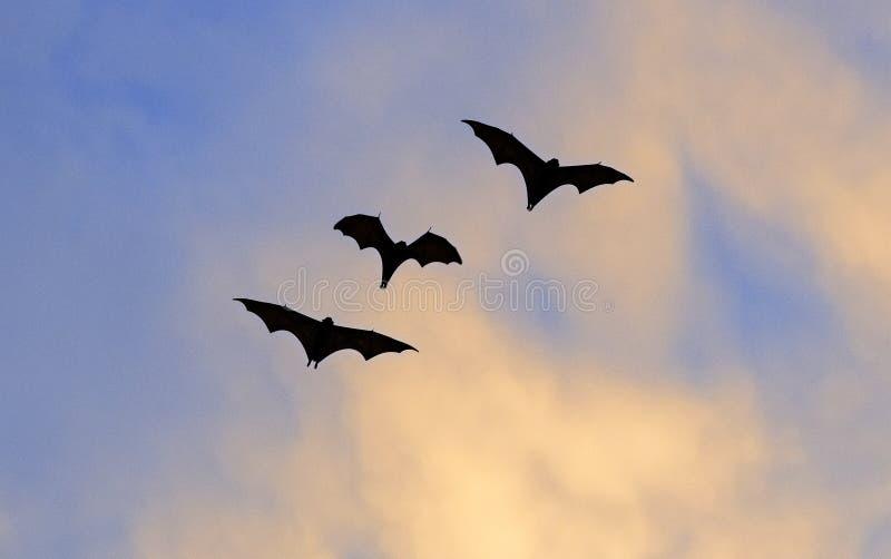 Le petit renard volant, le renard de vol d'île ou le hypomelanus de Pteropus variable de renard volant, chauve-souris de fruit Vo photos libres de droits