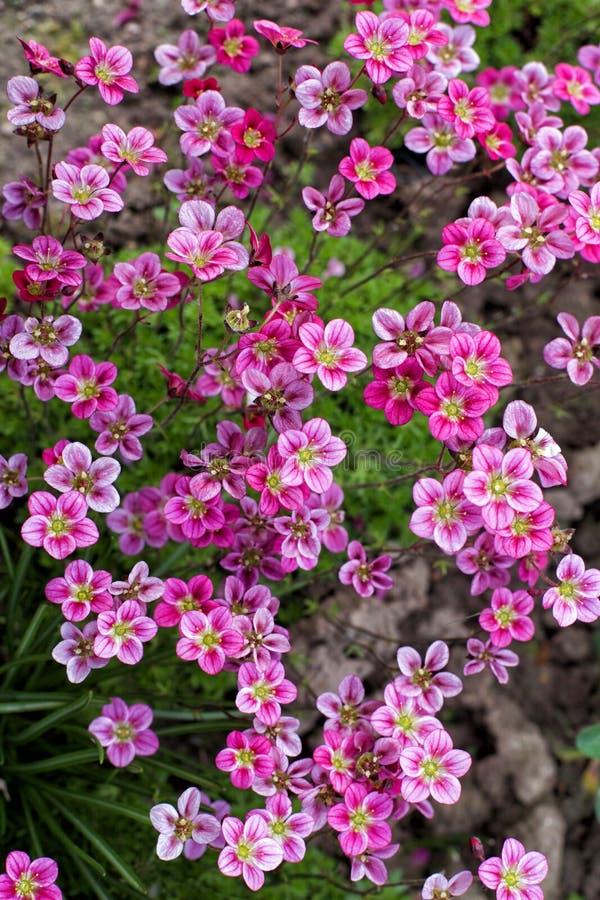 Le petit rose fleurit le Saxifraga photographie stock libre de droits