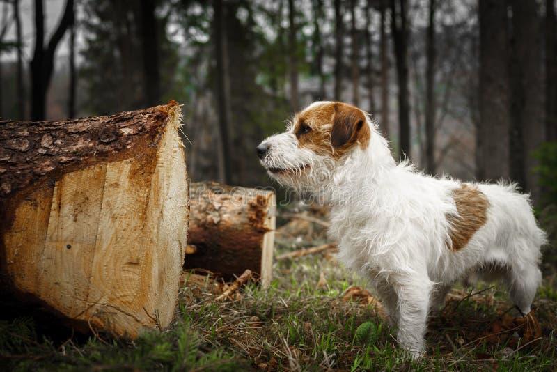 Le petit terrier de Jack Russell de chien pose admirablement pour un portrait dans la forêt image stock