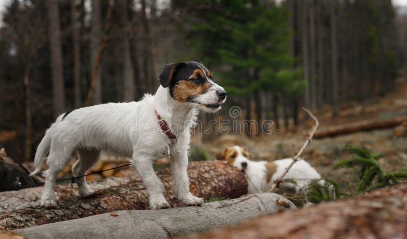 Le petit terrier de Jack Russell de chien pose admirablement pour un portrait dans la for?t image libre de droits