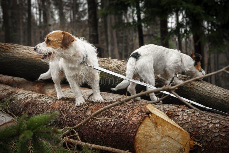 Le petit terrier de Jack Russell de chien pose admirablement pour un portrait dans la for?t photographie stock